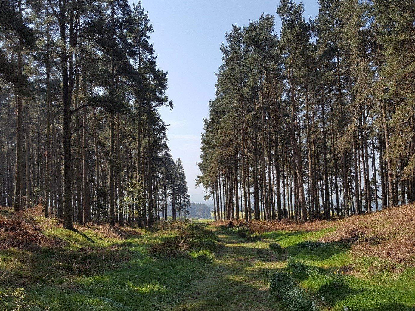 forest path tall pine trees blue sky uk walking holiday